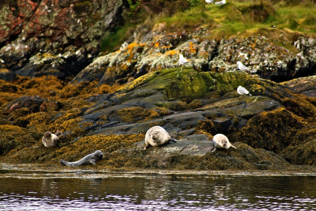 שייט בסקוטלנד - כלבי ים על החוף - דרך הים