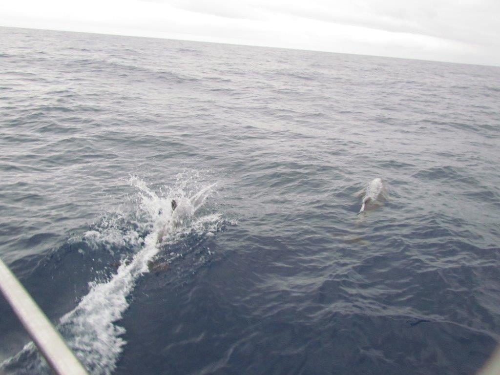 להקת דולפינים