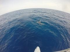 דולפין בזמן הפלגה
