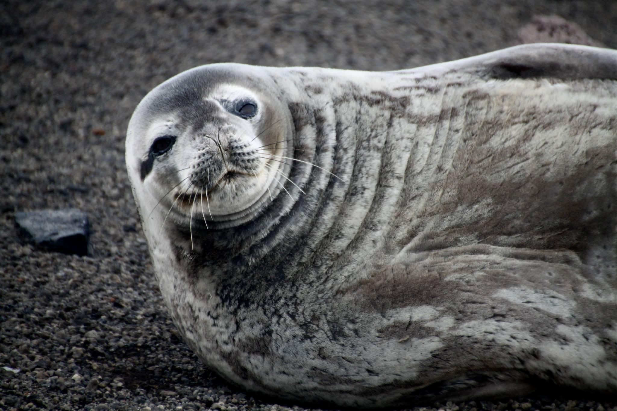 שייט באנטרקטיקה - כלב ים - דרך הים