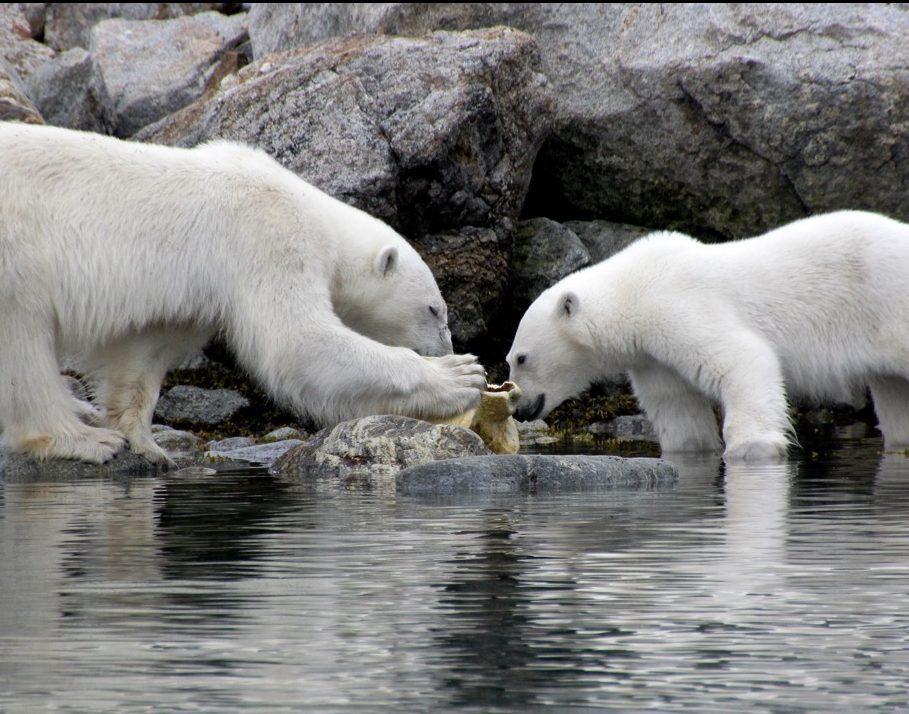 הפלגה לבסבאלבר - 2 דובים לבנים במים - דרך הים