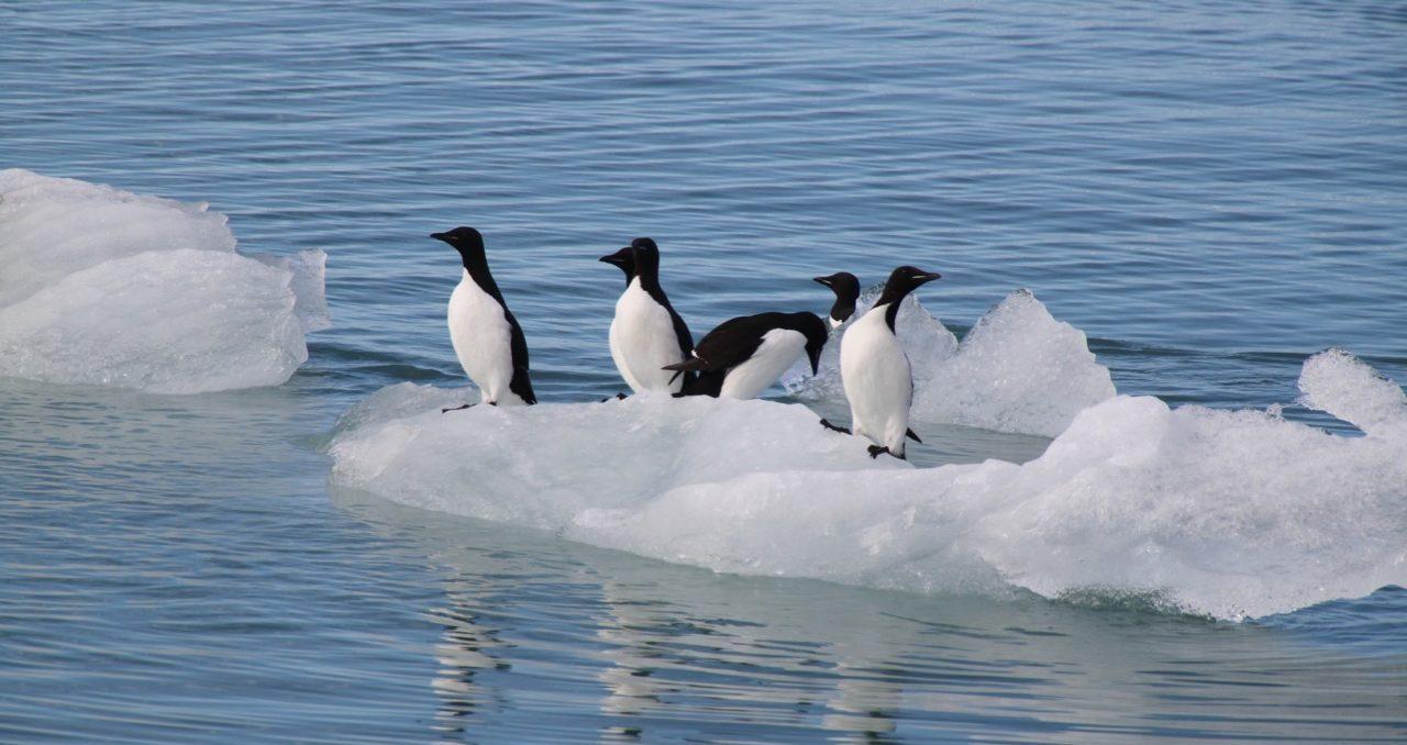 הפלגה לבסבאלבר - פינגווינים צפים על קרחון - דרך הים