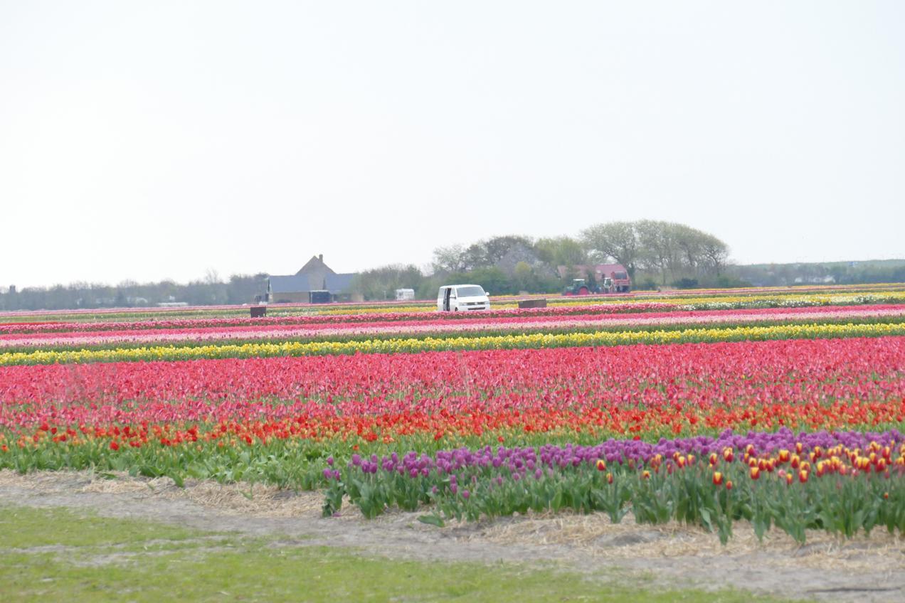 שדה צבעונים