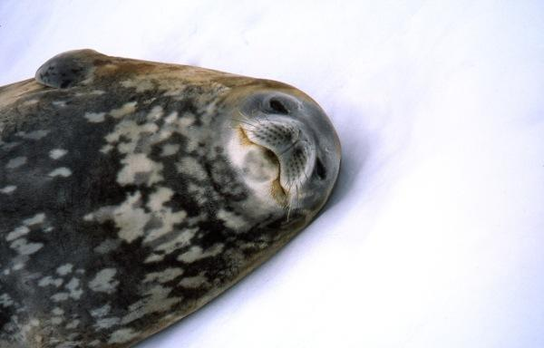 כלב ים באנטרטיקה