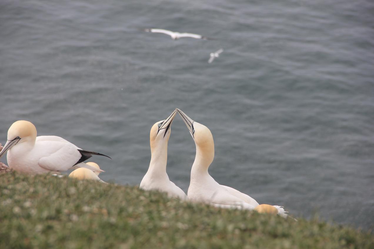 ציפורים בים הצפוני